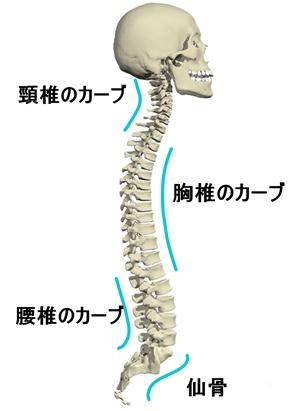 脊柱のカーブ